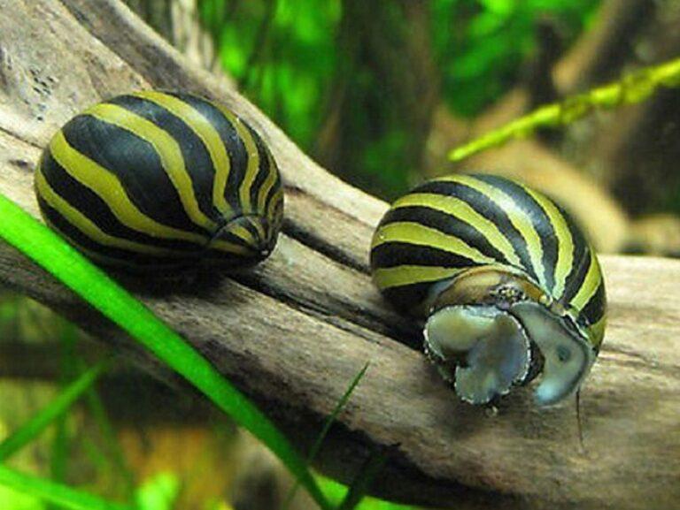 Two zebra nerite snails on driftwood