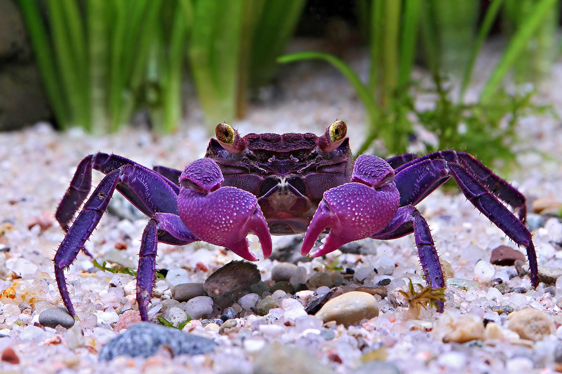 10 Pet Crabs For Pet Lovers To Keep