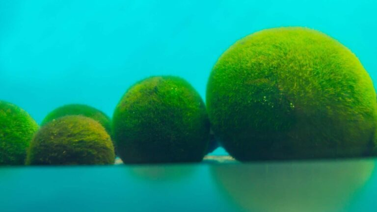 Large marimo moss balls lined up.