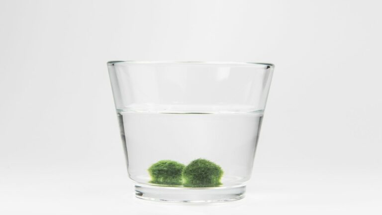 Two marimo Moss Balls in a vase of water
