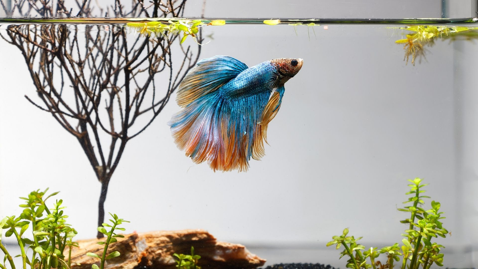22 Best Plants For Betta Fish (Complete Beginners Guide)
