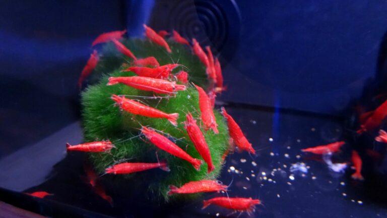 Red cherry shrimp eating Morimo moss balls.