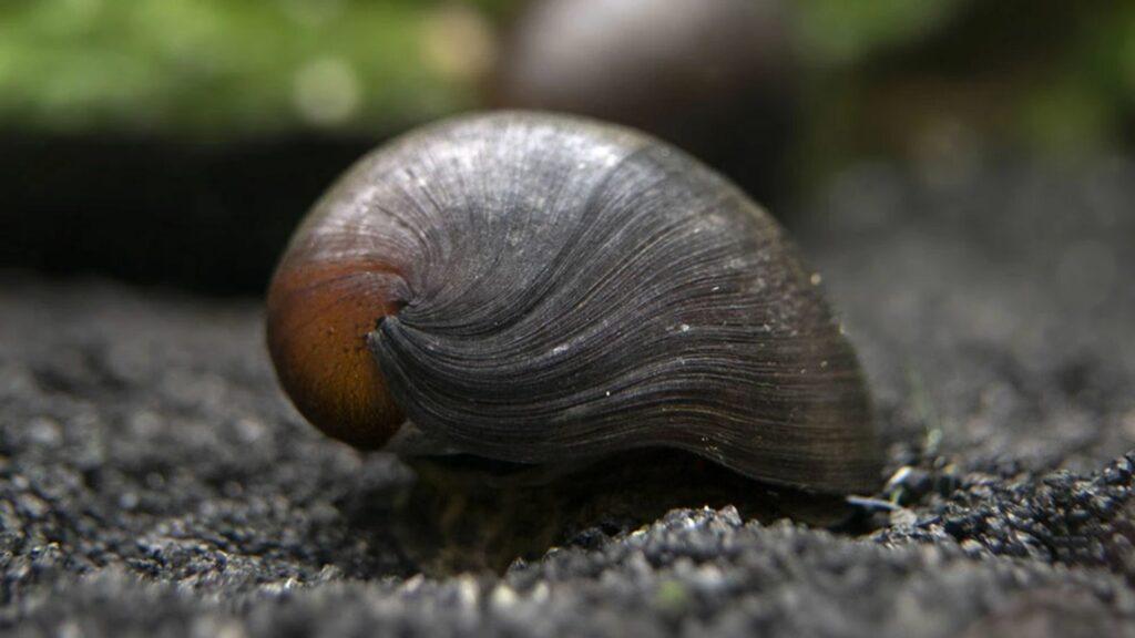 Black Racer Nerite Snail