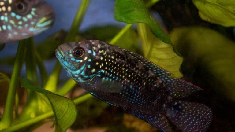 Jack Dempsey (Rocio Octofasciata) cichlid fish in the aquarium.