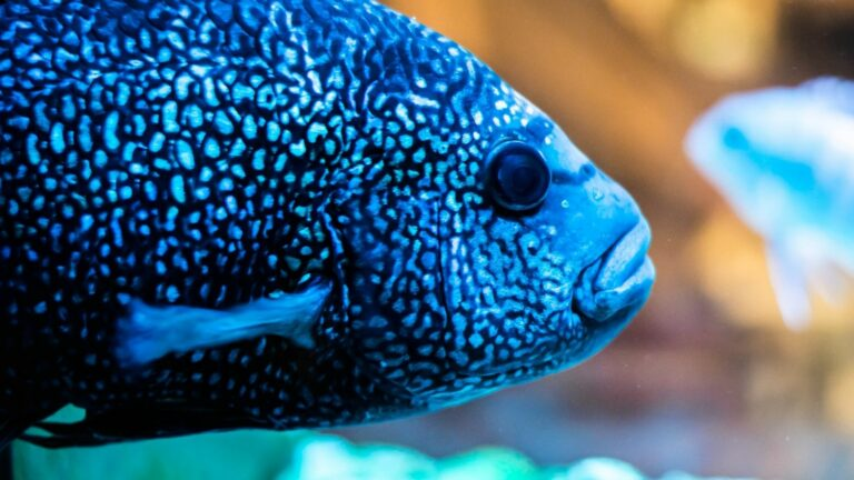 This is the famous Blue Jack Dempsey Fish.