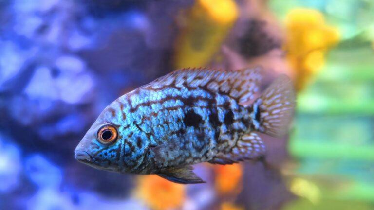 Aquarium Fish - Rocio Octofasciata cf. Electric Blue Jack Dempsey cichlid in aquarium.