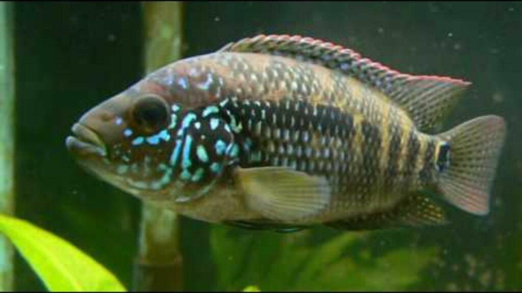 Female Jack Dempsey Fish