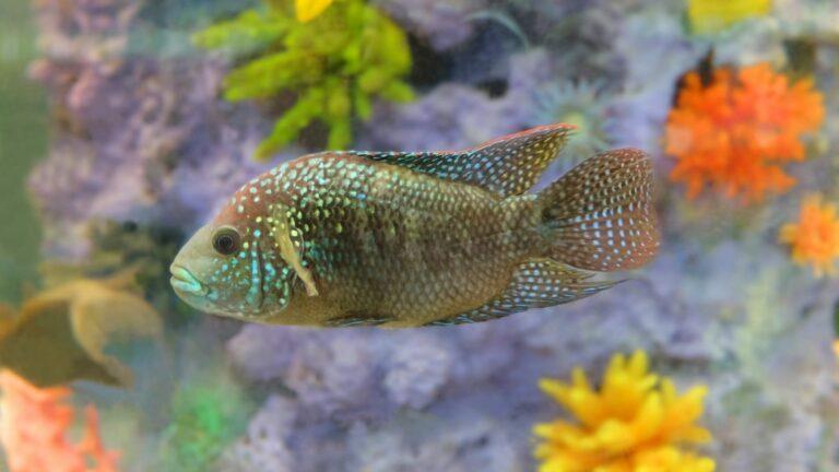 Aquarium Fish - Jack Dempsey or Morning Dew (Rocio Octofasciata) in an Aquarium.