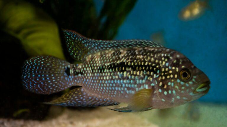 Jack Dempsey (Rocio Octofasciata) in the aquarium.
