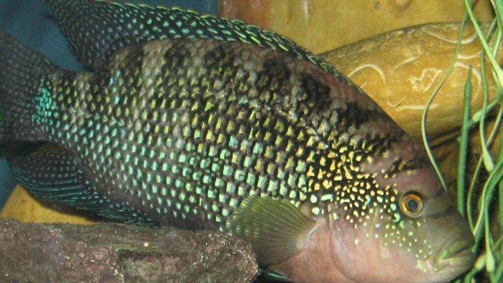 Male Jack Dempsey Cichlid