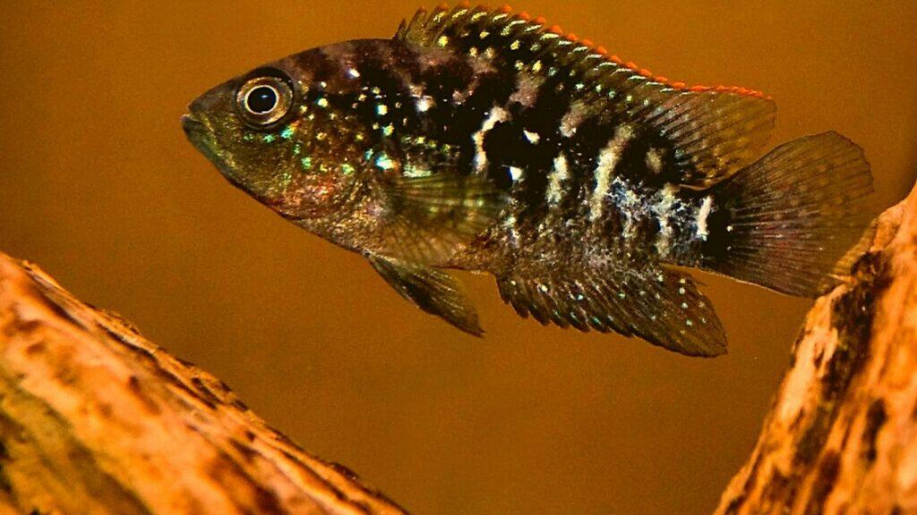 Juvenile Jack Dempsey Cichlid