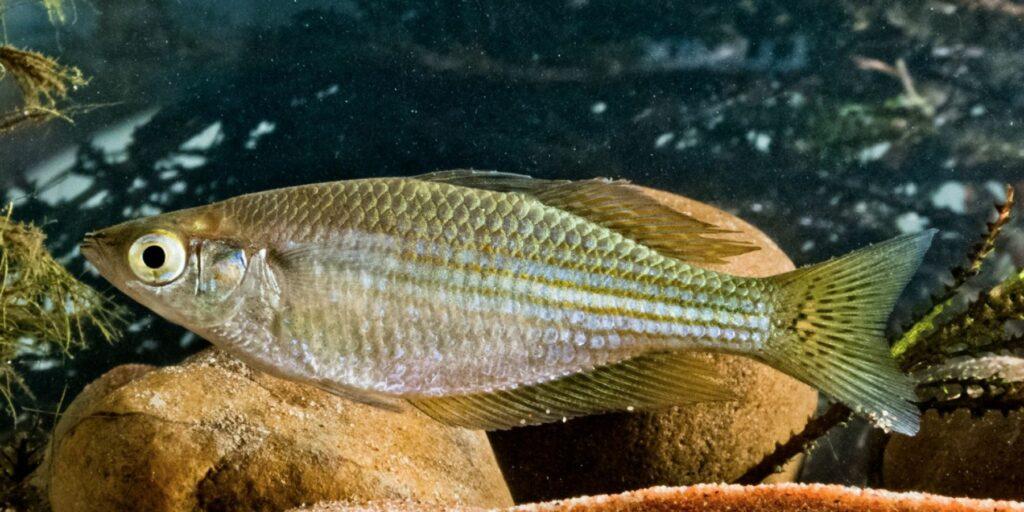 Desert Rainbowfish - Melanotaenia splendida tatei