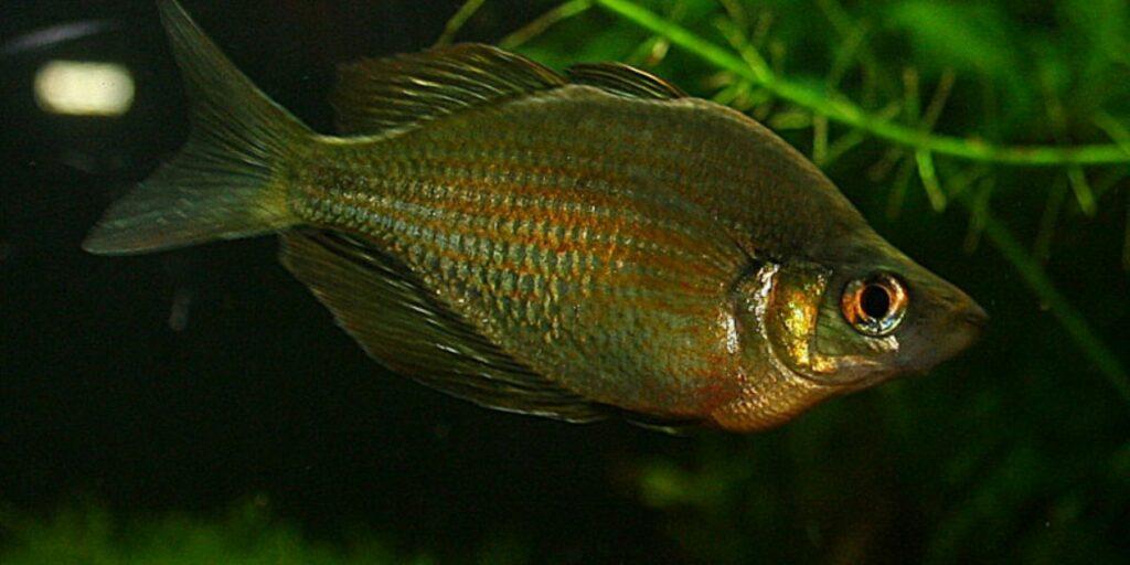 Lake Wanam Rainbowfish - Glossolepis wanamensis