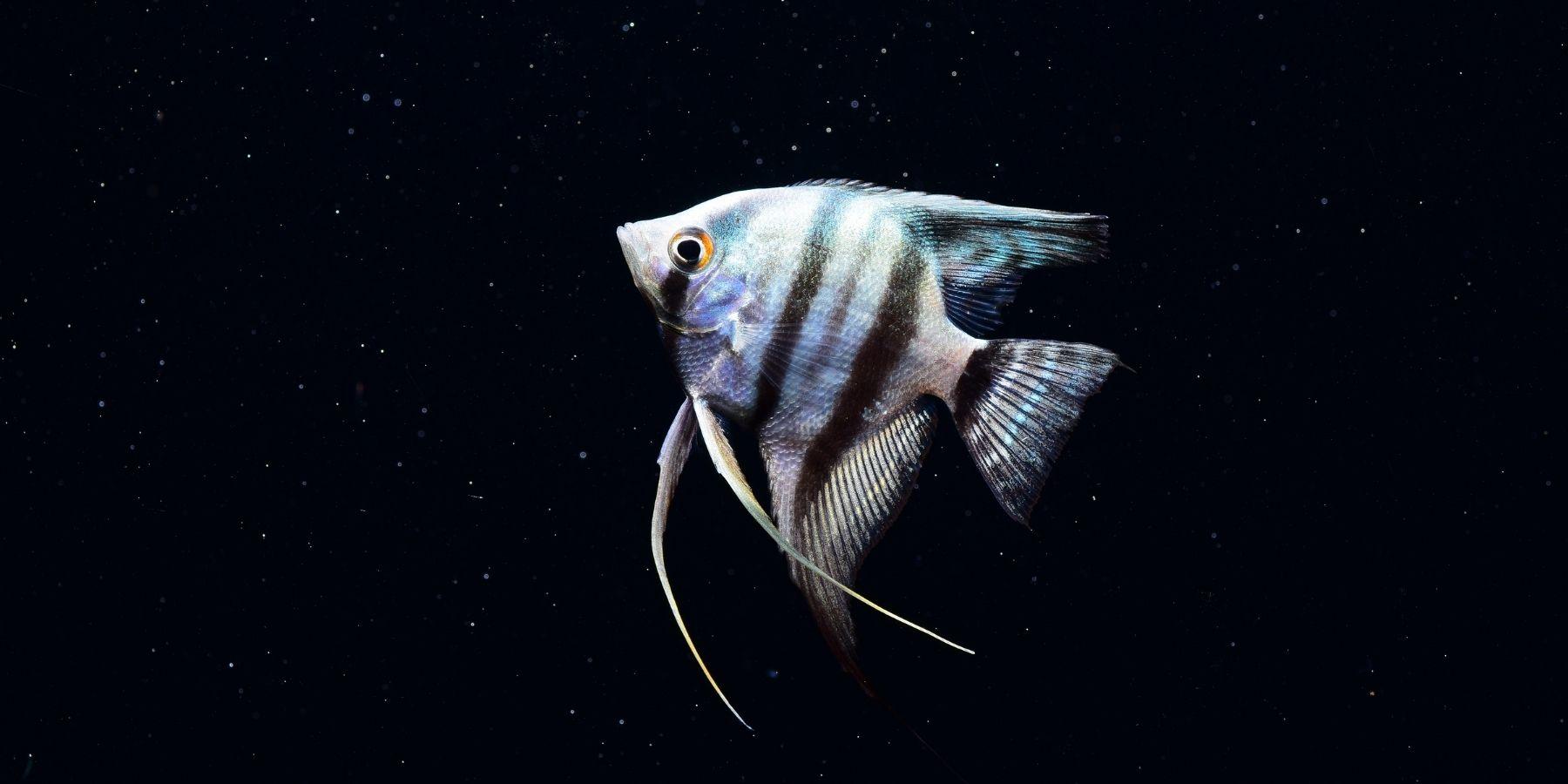 Most popular types of angelfish