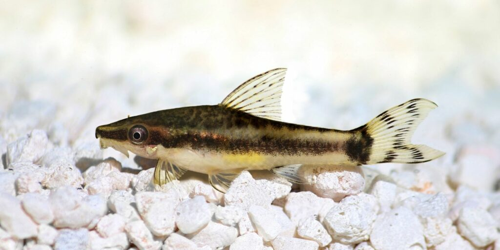 Oto Catfish