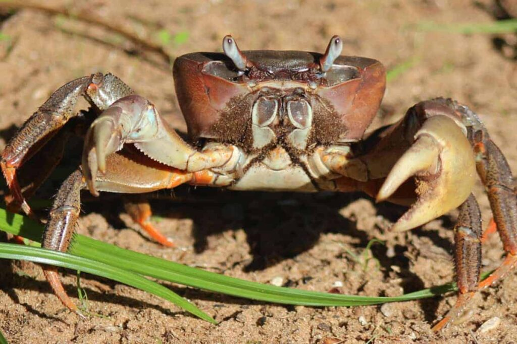 Thai Devil Crab